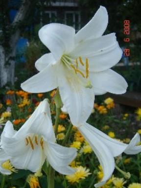 лилия кандидум, лилия белоснежная, candidum